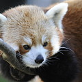 Red Panda by Keith Lovejoy