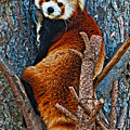 Red Panda by Steve Harrington