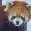 Red Panda by Tania Eddingsaas
