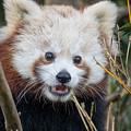 Red Panda Wonder by Greg Nyquist