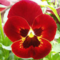 Red Pansy by Nancy Mueller