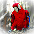 Red Parrot by Roger Wedegis