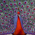 Red Peacock by Guy Crittenden