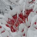 Red Peeking Through The Snow by Dan Friend