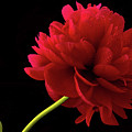 Red Peony  by Jean Noren