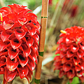 Red Pineapple Ginger Plant by Charmian Vistaunet