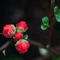 Red Plum Flowers In Rain by Catherine Lau