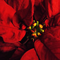 Red Poinsettia Floral Art by Robyn King