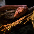 Red Poisonous Snake by Douglas Barnett
