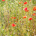 Red Poppies And Wild Flowers by Pati Photography
