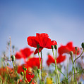 Red Poppies by Angela Doelling AD DESIGN Photo and PhotoArt
