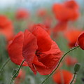 Red Poppies Blooming by Lena Photo Art