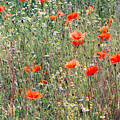 Red Poppies In A Summer Sun by Pati Photography