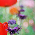 Red Poppies by Jean OKeeffe Macro Abundance Art