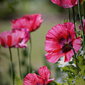 Red Poppies by Lisa L Silva