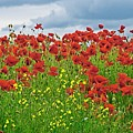 Red Poppies by Martyn Arnold