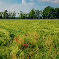 Red Poppies On A Green Wheat Field by Alexandre Rotenberg