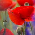 Red Poppies by Rachel Morrison
