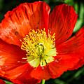 Red Poppy by Anthony Evans