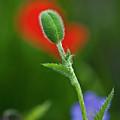 Red Poppy Bud by Heiko Koehrer-Wagner