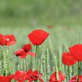 Red Poppy Flower And Green Wheat Nature Spring Scene by Goce Risteski