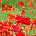 Red Poppy Flowers Meadow Art Prints Poppies Baslee Troutman by Baslee Troutman