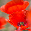 Red Poppy For Remembrance by Mo Barton