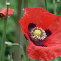 Red Poppy Getting All The Attention by Shirley S Wallis