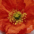 Red Poppy by Linda Woods