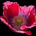 Red Poppy On Blk Velvet by Neil Doren