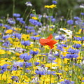 One Red Poppy Amongst The Wildflowers by Sara C