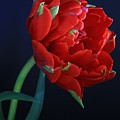 Red Princess Tulip On Blue by Rusalka Koroleva