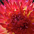 Red Purple Dahlia Flower Summer Dahlia Garden Baslee Troutman by Baslee Troutman