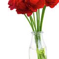 Red Ranunculus Flowers by Anastasy Yarmolovich