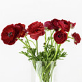 Red Ranunculus by Kim Hojnacki