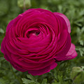 Red Ranunculus by QQ Photoworks