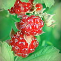 Red Raspberries by Sheila June Denson