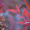 Red Red Leaves by Mark Bell