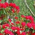 Red Rhododendron Garden Art Prints Rhodies Landscape Baslee Troutman by Baslee Troutman