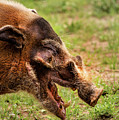 Red River Hog by Don Johnson