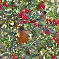 Red Robin And Cedar Waxwing 1 by Linda Brody