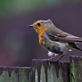 Red Robin On A Fence by Jeremy Hayden