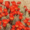 Red Rock Flowers by Kathleen Maconachy
