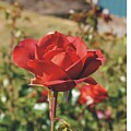 Red Rose 1 by Mike  Mullins