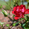 Red Rose And Buds by Aimee L Maher ALM GALLERY