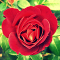 Red Rose by Cathie Tyler