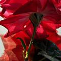 Red Rose by Damijana Cermelj