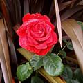 Red Rose by Ellen Ashworth