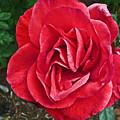 Red Rose F135 by Howard Stapleton