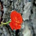 Red Rose by Ilaria Andreucci